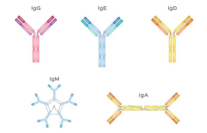 Observe o esquema das cinco classes de anticorpos existentes.