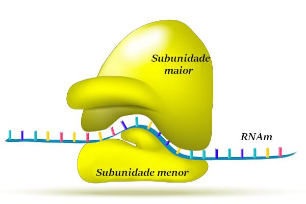 O ribossomo é formado por duas subunidades, as quais se juntam apenas após a ligação com um RNA mensageiro.