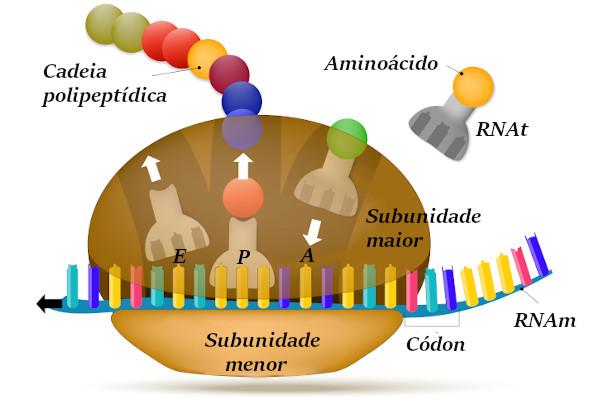 A síntese de proteínas ocorre em três etapas e envolve o ribossomo e diferentes tipos de RNA.