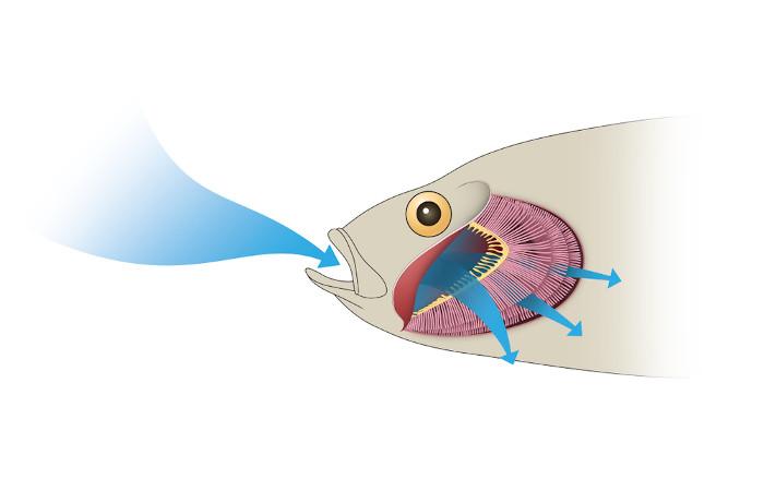 A respiração branquial ocorre em diferentes animais, como os peixes.