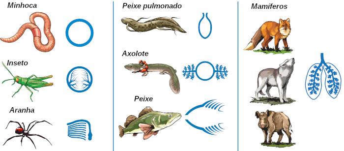 Os animais apresentam diferentes tipos de respiração, como podemos observar na figura.
