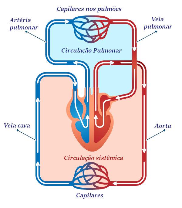 No nosso corpo, o sangue realiza dois circuitos: o pulmonar e o sistêmico.