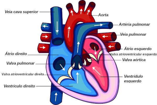 O coração funciona como uma grande bomba que garante o impulsionamento do sangue para as diferentes partes do organismo.