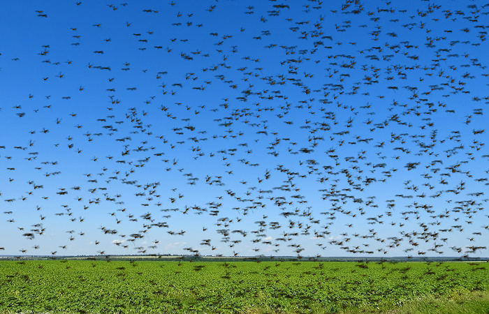 O aumento da ocorrência de nuvens de gafanhotos está relacionado, entre outros fatores, com o desmatamento e as mudanças climáticas.