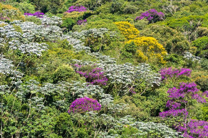 A riqueza da Mata Atlântica, com as quaresmeiras e embaúbas, típicas das florestas ombrófilas densas.