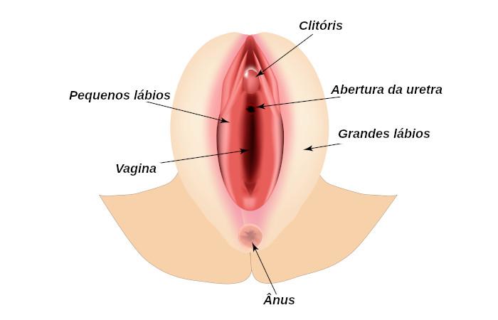 Vulva é o nome dado à genitália externa feminina.