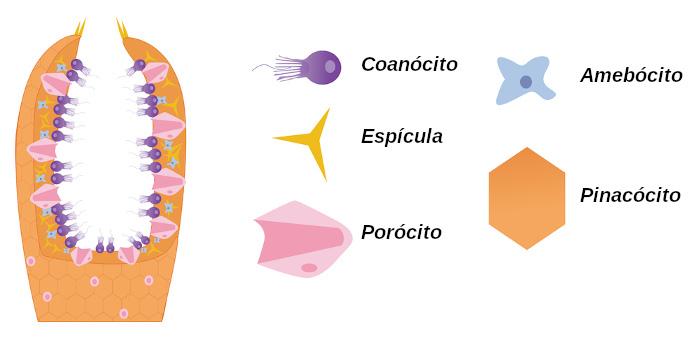 Observe as células encontradas no corpo das esponjas.