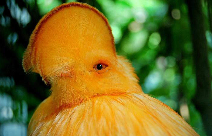 O galo-da-serra é uma das belas aves encontradas na Floresta Amazônica.