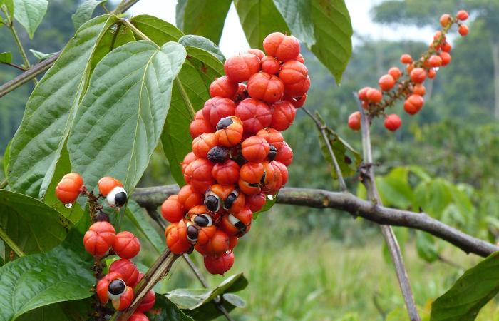 O guaraná é uma planta encontrada na Amazônia que apresenta grande valor comercial.