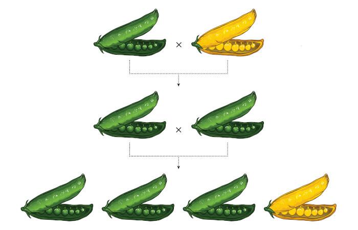 Mendel realizou um estudo com ervilhas que proporcionou o seu reconhecimento como pai da genética.