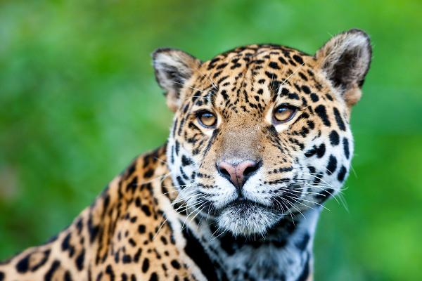 A onça-pintada é um grande felino encontrado, entre outros lugares, na Floresta Amazônica.