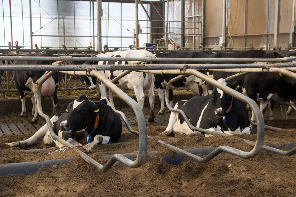 Produção de carne e leite na Holanda.