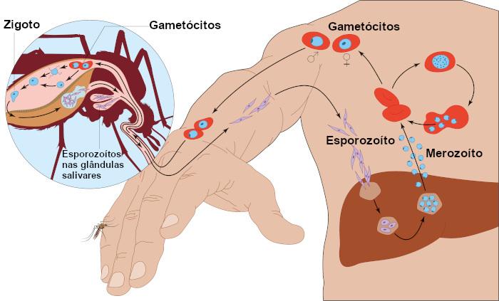 Observe atentamente à figura e compreenda melhor o ciclo de vida do Plasmodium.
