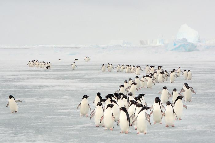 Migração anual de pinguins nas ilhas Orkney do Sul.