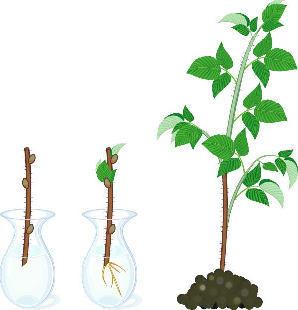 Na figura podemos observar a propagação vegetativa, em que um pedaço do caule é usado para formar um novo indivíduo.