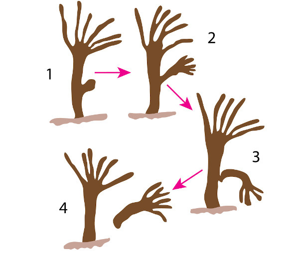 O brotamento é uma forma de reprodução assexuada que pode ser vista na hidra.