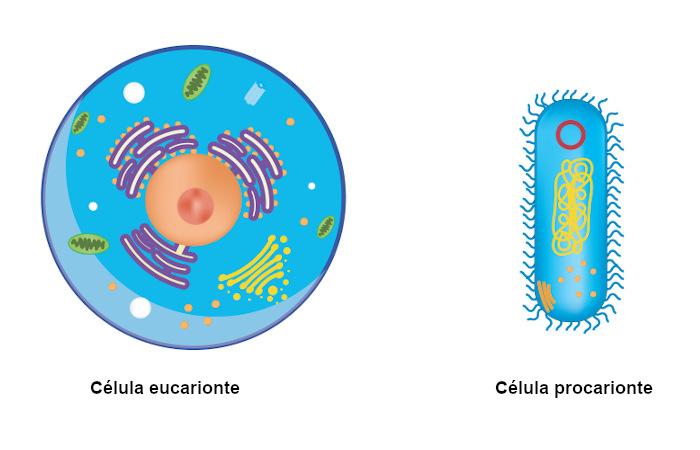 A célula eucarionte apresenta maior complexidade que a célula procarionte.