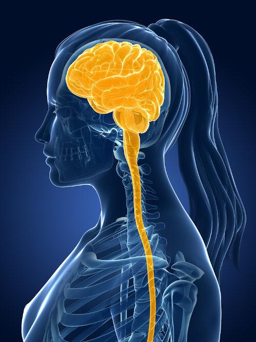 A mielite transversa afeta a medula espinhal, um dos componentes do sistema nervoso central.
