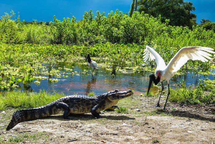 Fauna: jacaré e tuiuiú no Pantanal mato-grossense.