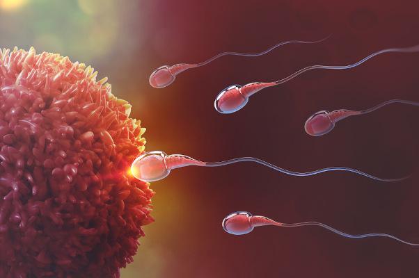 A fecundação ocorre quando o espermatozoide se une ao ovócito.