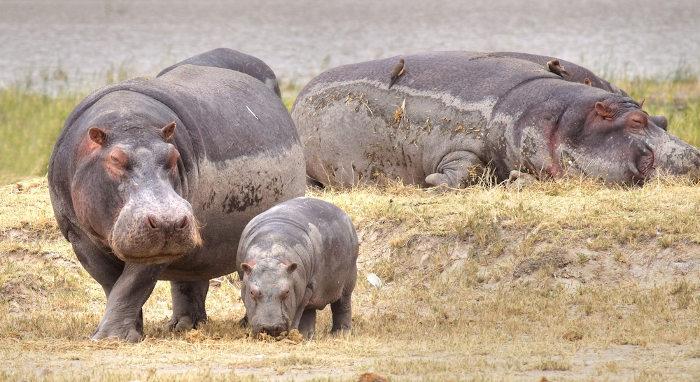 O filhote do hipopótamo-comum já nasce com cerca de 45 quilos.