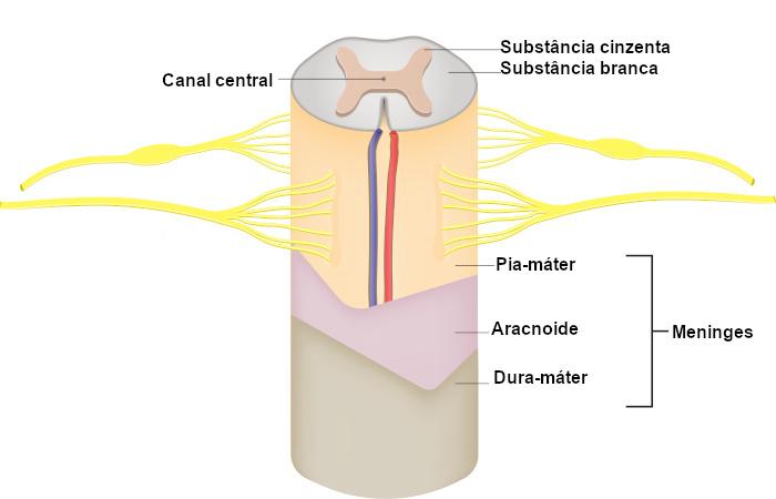 A figura mostra um detalhe da medula espinhal. Observe a disposição da substância cinzenta em forna de H.