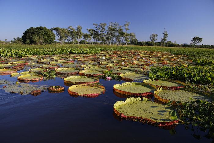 Vitória-régia: flor típica da região do Pantanal