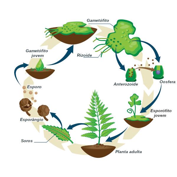 O ciclo de vida de uma samambaia homosporada.