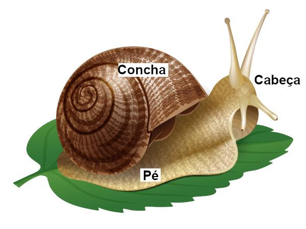 A maioria dos moluscos apresenta concha protegendo seu corpo.