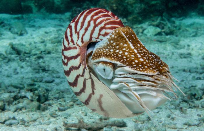 Os náutilos são cefalópodes que possuem concha externa.