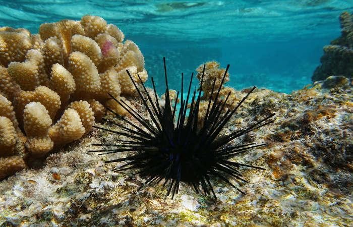 O ouriço-do-mar apresenta espinhos em seu corpo que são usados para defesa e locomoção.