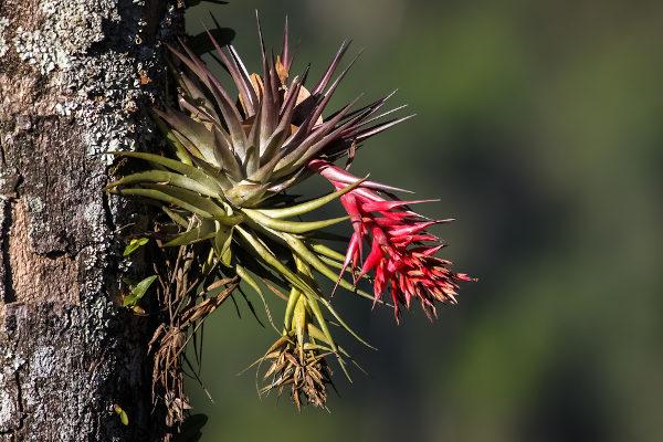 Plantas epífitas desenvolvem-se sobre outras sem retirar nenhum nutriente da planta que está servindo de suporte.