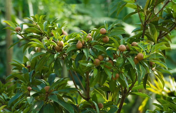 O sapotizeiro não é uma planta nativa do Brasil, mas é amplamente cultivada aqui.