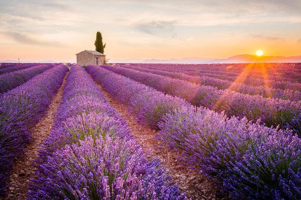 Campos de lavanda são comuns em Provença, ao sul da França.