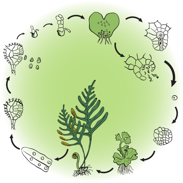 Todas as plantas apresentam ciclo de vida com alternância de gerações.