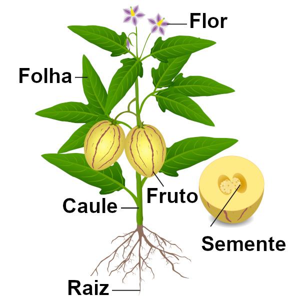 Observe os principais órgãos de um vegetal.