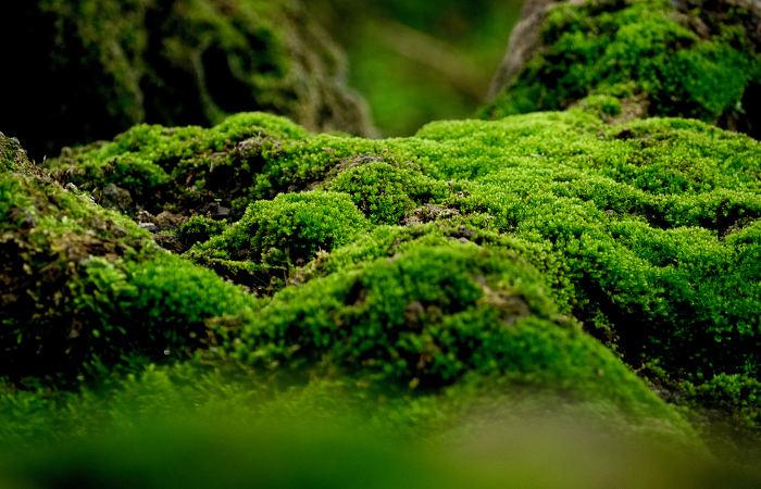 Os musgos são exemplos de briófitas.