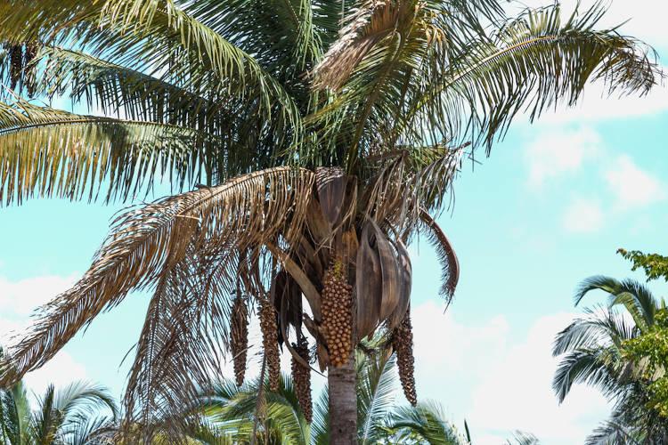 Exemplar de uma palmeira de babaçu.