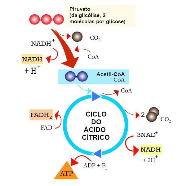 Visão geral da oxidação do piruvato e do ciclo do ácido cítrico, também conhecido como ciclo de Krebs.