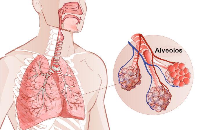 Os brônquios garantem que o ar chegue até os alvéolos pulmonares, onde ocorrem as trocas gasosas.