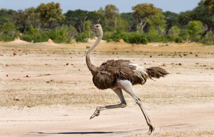 O avestruz é um animal onívoro que apresenta na sua alimentação produtos como ervas e insetos.