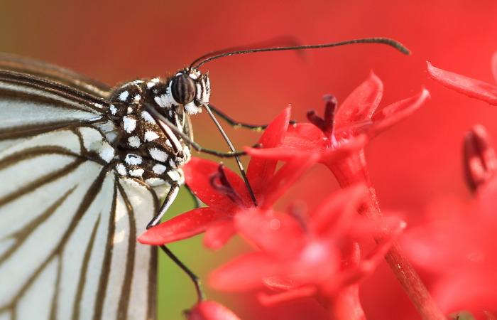 As borboletas apresentam peças bucais que permitem a retirada do néctar das flores.
