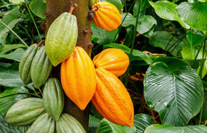 O cacaueiro produz um fruto de grande importância econômica: o cacau.