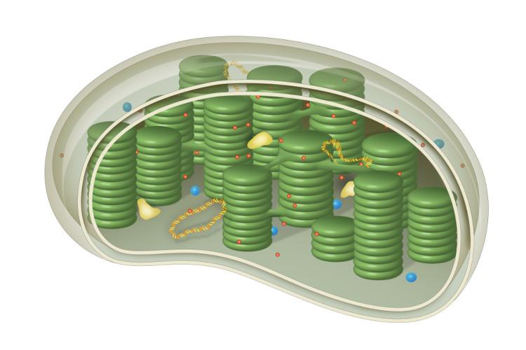 O cloroplasto é uma organela celular encontrada em células de plantas e algas.