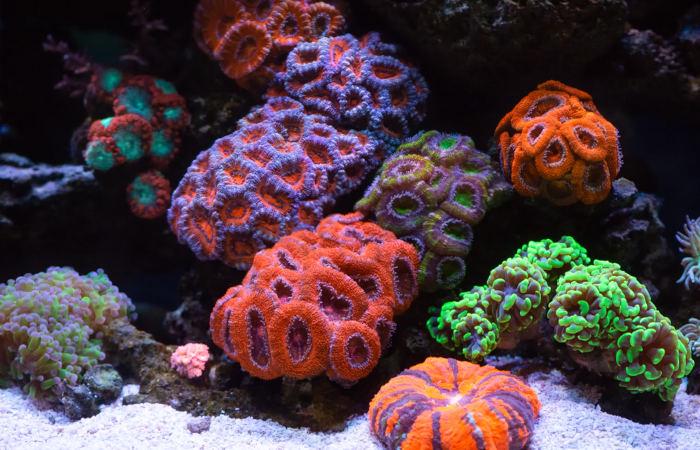 Os corais são exemplos de organismos cnidários que formam colônias.