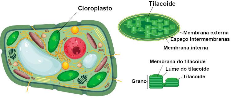 O cloroplasto apresenta um sistema de membrana que forma os tilacoides.