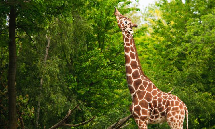 A girafa é um exemplo de animal herbívoro.