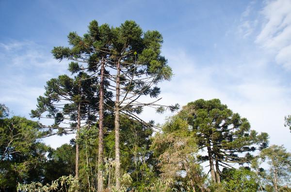 As araucárias conformam uma paisagem típica da região Sul do Brasil.