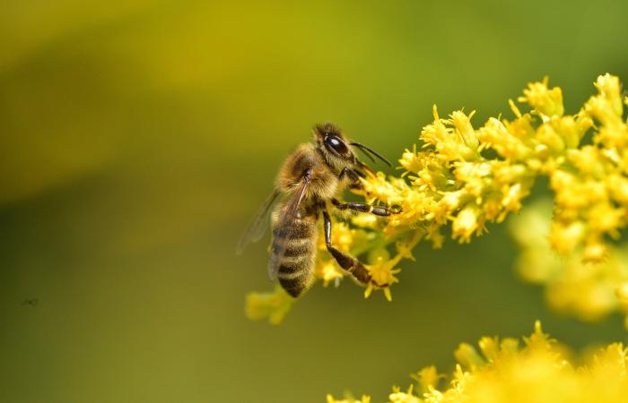 As abelhas estabelecem relações ecológicas com várias plantas, promovendo a sua polinização, enquanto as plantas fornecem-lhe néctar.