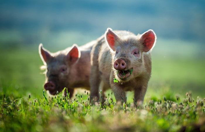Os porcos podem consumir uma variedade de alimentos, apresentando, portanto, um sistema digestório adaptado a esse tipo de alimentação.